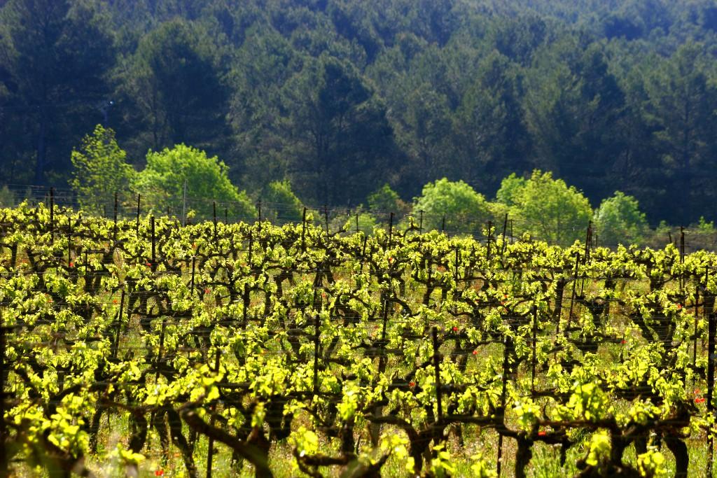 Gayance Wine vignes