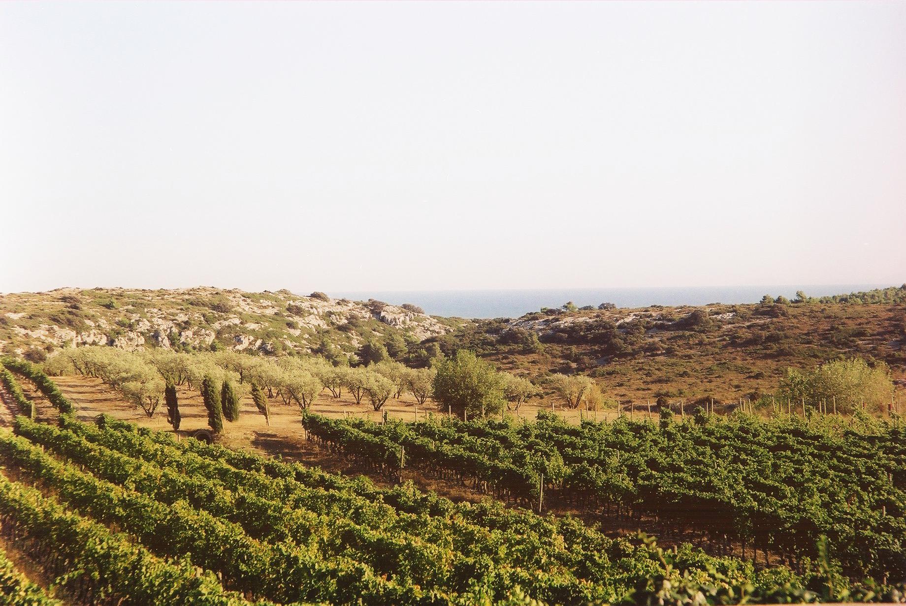 Vignes et oliviers Soleilla