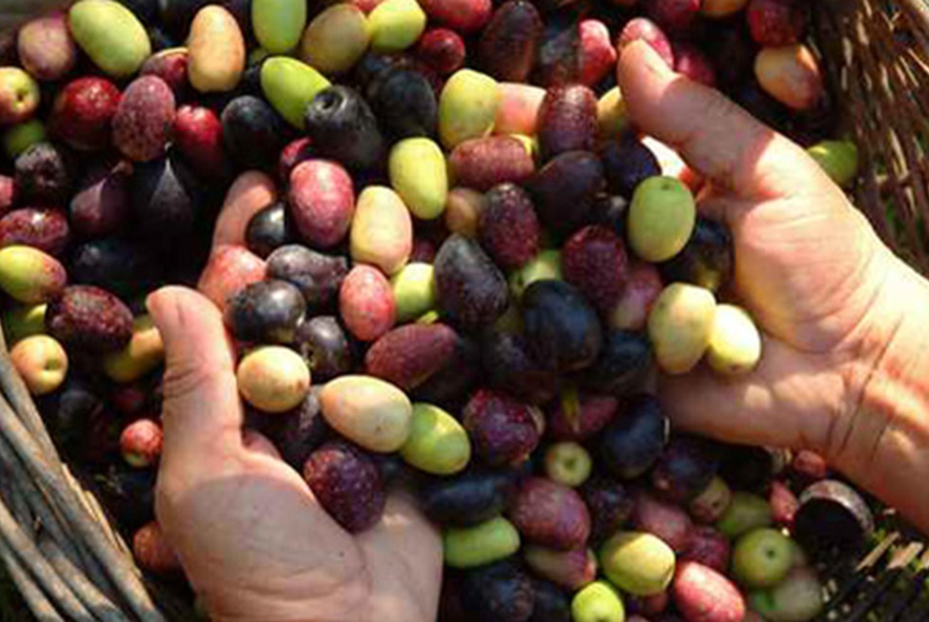 olives Montfrin